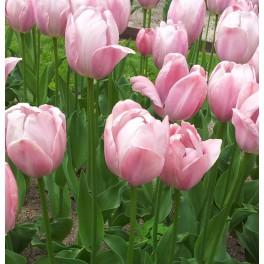 Tulipan Mystic Van Eijk