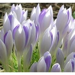 Krokus Lilac Beauty