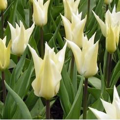 Tulipan Très Chic