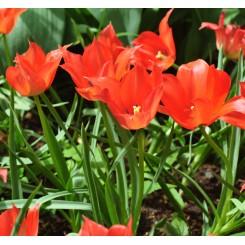 Botanisk Tulipan Linifolia, Øko