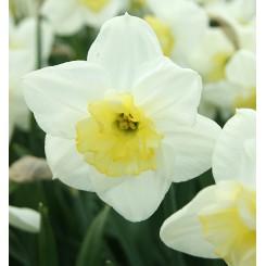 Påskelilje Papillon Blanc, Øko