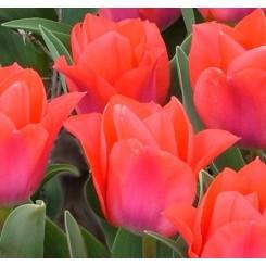 Tulipan Portland, Øko