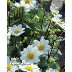 Dahlia Topmix White