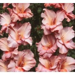 Gladiolus Old Spice