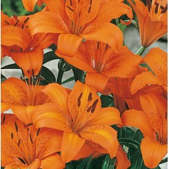 Lilium asiatica, Orange