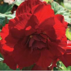 Begonia, Dobbelt Mørkerød