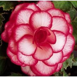 Begonia, Bouton de Rose
