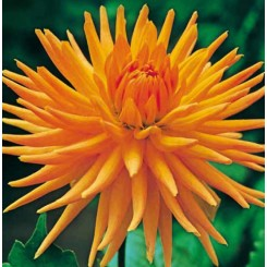 Dahlia Gold Crown