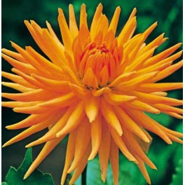 Dahlia Gold Crown