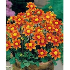 Dahlia Topmix Orange