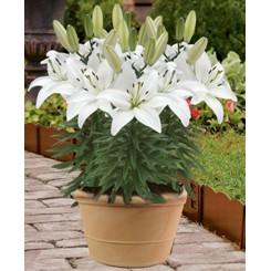 Lilium asiatica, White