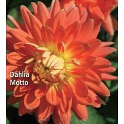 Dahlia Motto