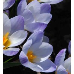 Krokus Blue Pearl
