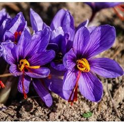 SafranKrokus - Crocus sativus