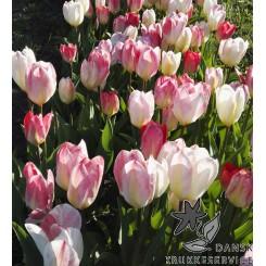 Tulipan Flaming Purissima