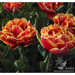 Tulipan Gold Dust
