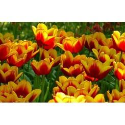 Tulipan Denmark