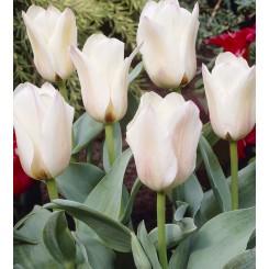 Tulipan Albion Star