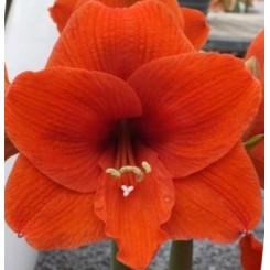 Hippeastrum, Orangerød