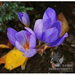 Efterårskrokus, Crocus Aitchinsonii