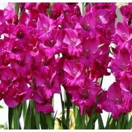 Gladiolus Fidelio