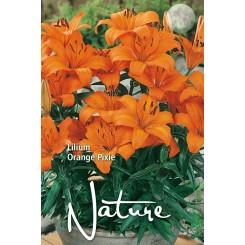 Lilium Orange Pixie