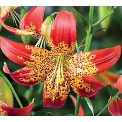 Lilium species Fusion