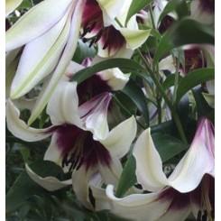 Lilium spec. Kushi Maya