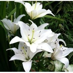 Lilium asiatica, Navona