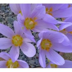 Efterårskrokus, Crocus kotschyanus