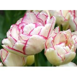 Tulipan Belicia