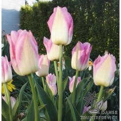 Tulipan Dynasty