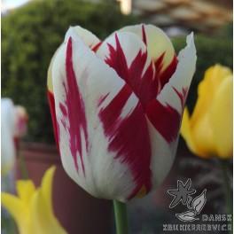 Tulipan Grand Perfection