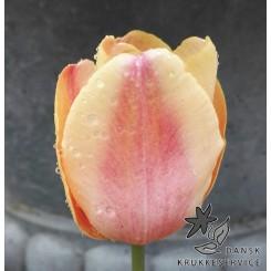 Tulipan Mango Charm