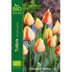 Tulipan Beauty of Spring, Øko