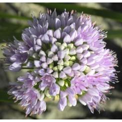 Kantet Løg - Allium senescens