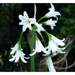 Trekantet Løg - Allium triquetrum