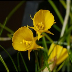 Krinoline påskelilje, bulbocodium conspicuus