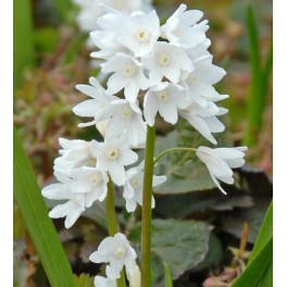 Porcelænshyacint, Hvid