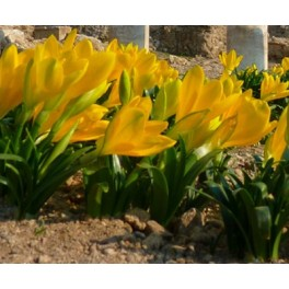 Krokuslilje, Sternbergia lutea