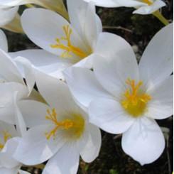 Hvid Efterårskrokus, Crocus speciosus Albus