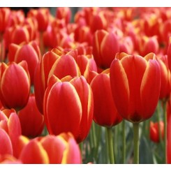 Tulipan Ad Rem, Øko