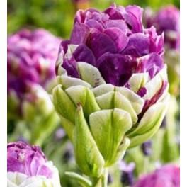 Tulipan Exquisit
