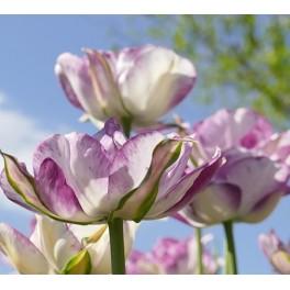 Tulipan Shirley Double