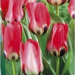 Tulipan Job's Memory