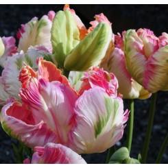 Tulipan Pink Vision