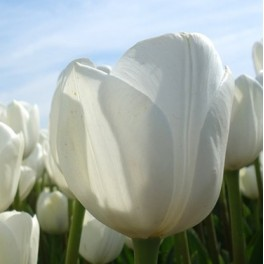 Tulipan Royal Virgin