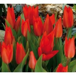 Tulipan Zwanenburg var., Øko