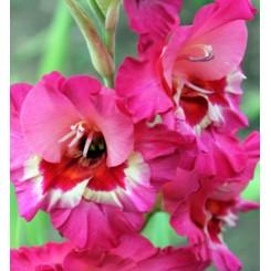 Gladiolus Vandohla
