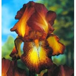 Iris germanica, Bronze